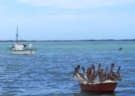 Pelikane auf grosser Fahrt